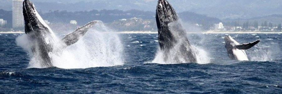 Photo From Spirit Of Gold Coast Whale Watching Facebook Page
